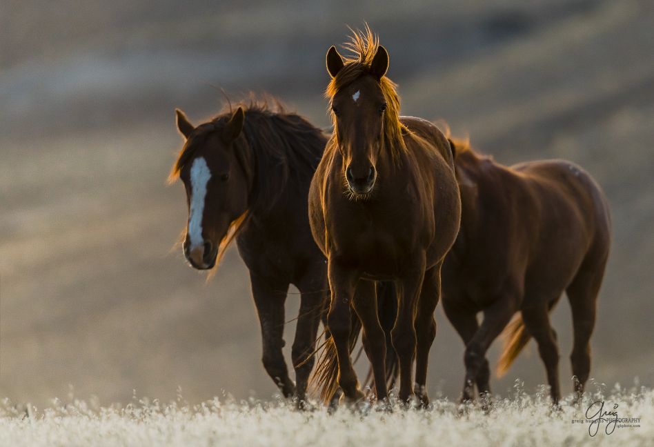 Red Cliffs Utah >> Wild Horses – West Desert – Onaqui Herd at Sunset » IGH_Photo